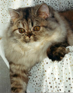 Marsa's honey Bee (tortie-silver-tabby)